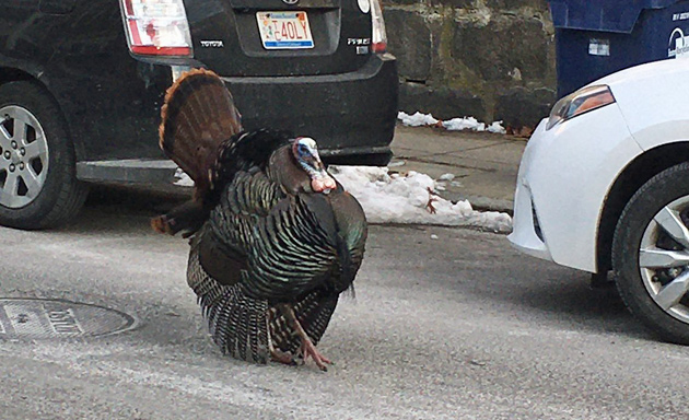 Strutting turkey in Jamaica Plain