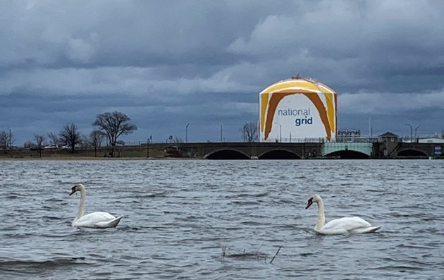 Swans in Dorchester Bay