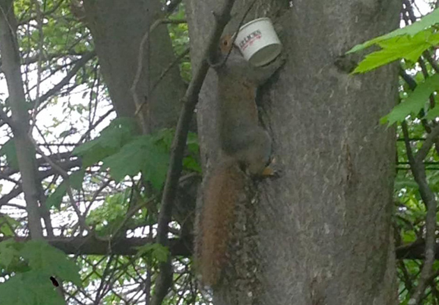 Squirrel with a cup of JP Licks to go