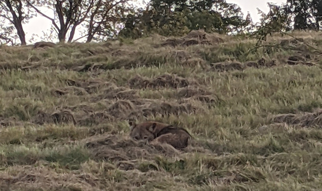 Coyote up a hill in the Roslindale part of the Arboretum