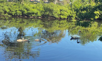 Atticus the swan and his cygnets