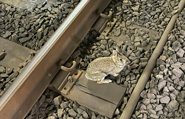 Rabbit on Green Line tracks at Copley Square