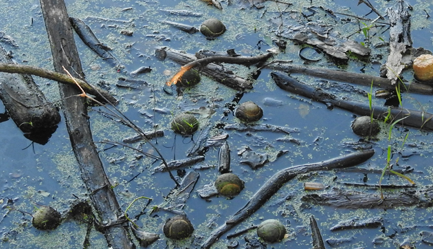 Tennis balls in a West Roxbury swamp