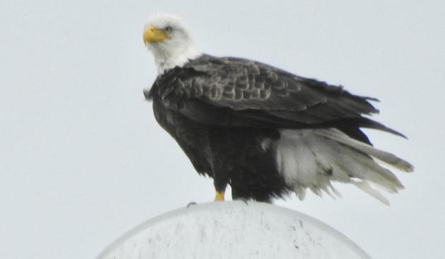 Eagle on Rivermoor Street in West Roxbury