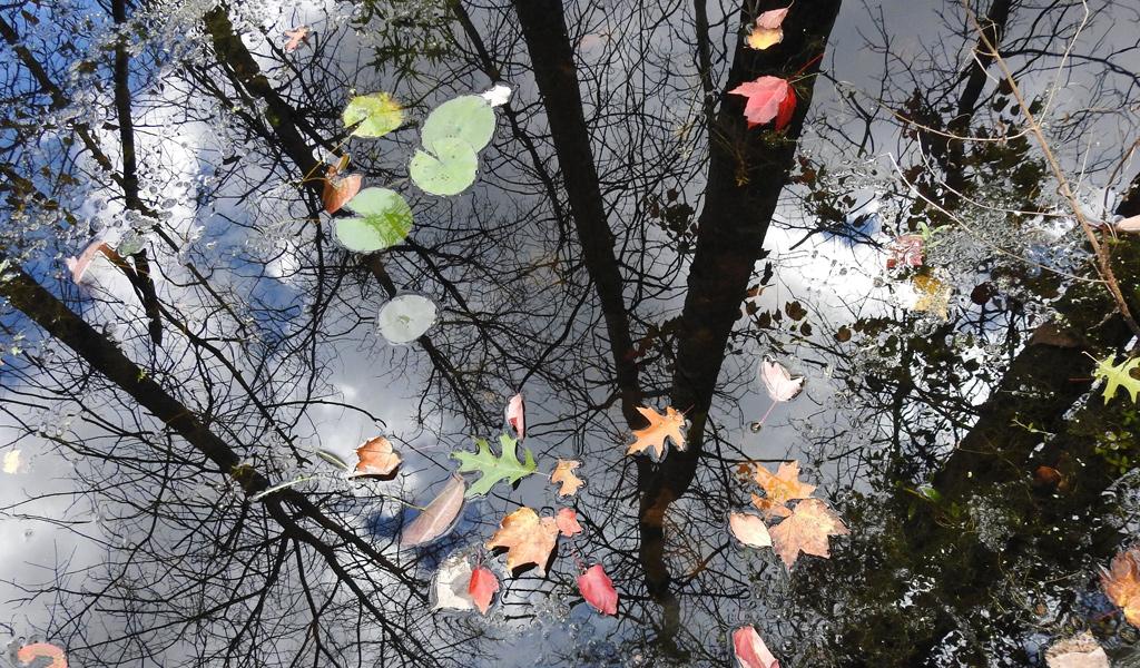 Fallen leaves in the water