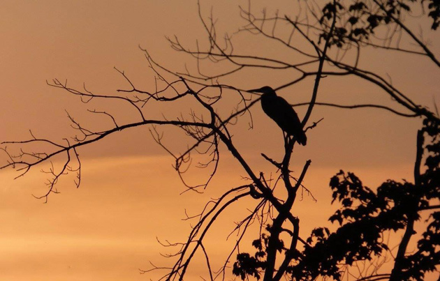 Great blue heron in a tree by the CharlesRiver