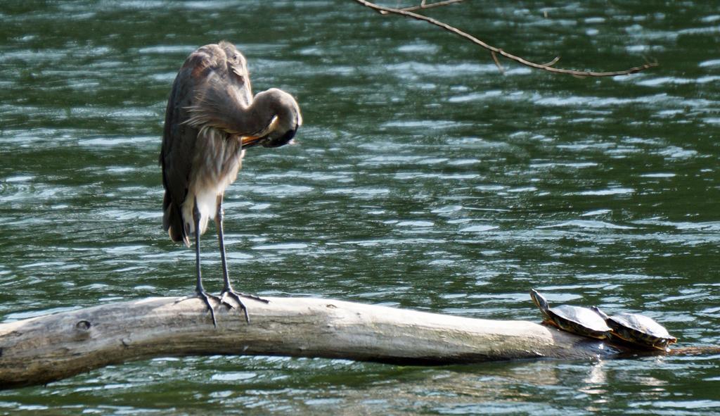 Heron preens while turtles watch
