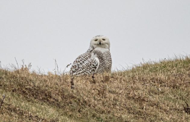 Owl at Castle Island