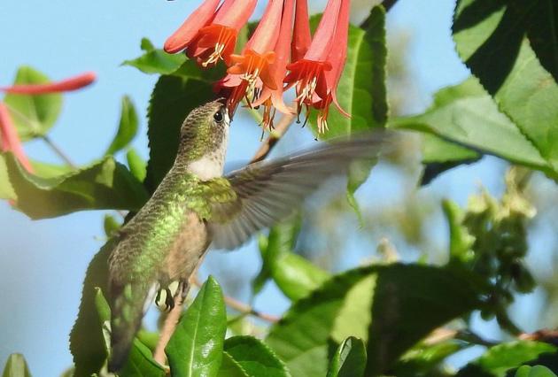 Hummingbird getting some food