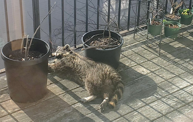Raccoon asleep on a Jamaica Plain porch
