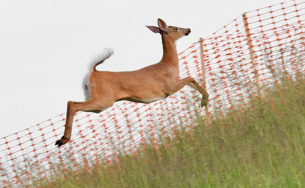 Jumping deer at Millennium Park