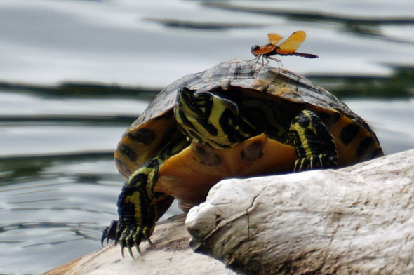 Dragonfly on a turtle in Jamaica Pond