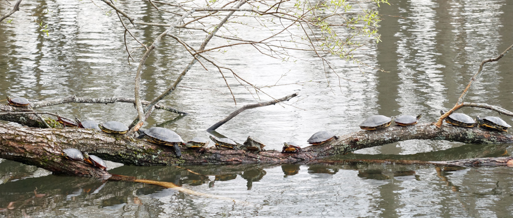 A lot of turtles at Jamaica Pond