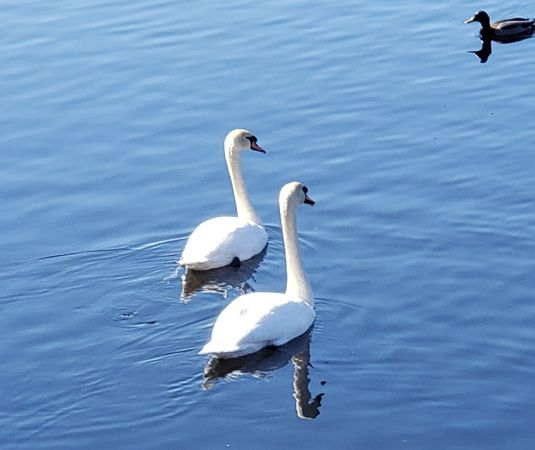 Pair of swans and a duck