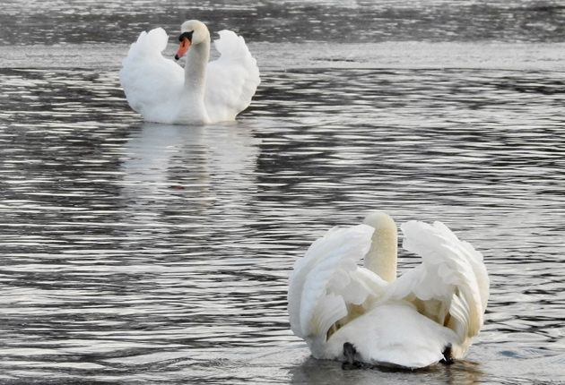Two swans face off on Jamaica Pond