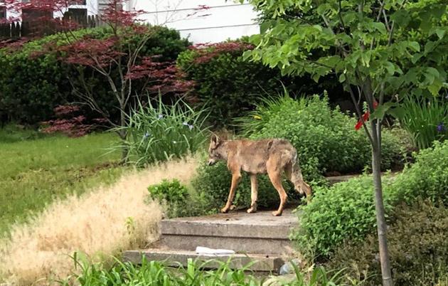 Coyote in Newton Centre