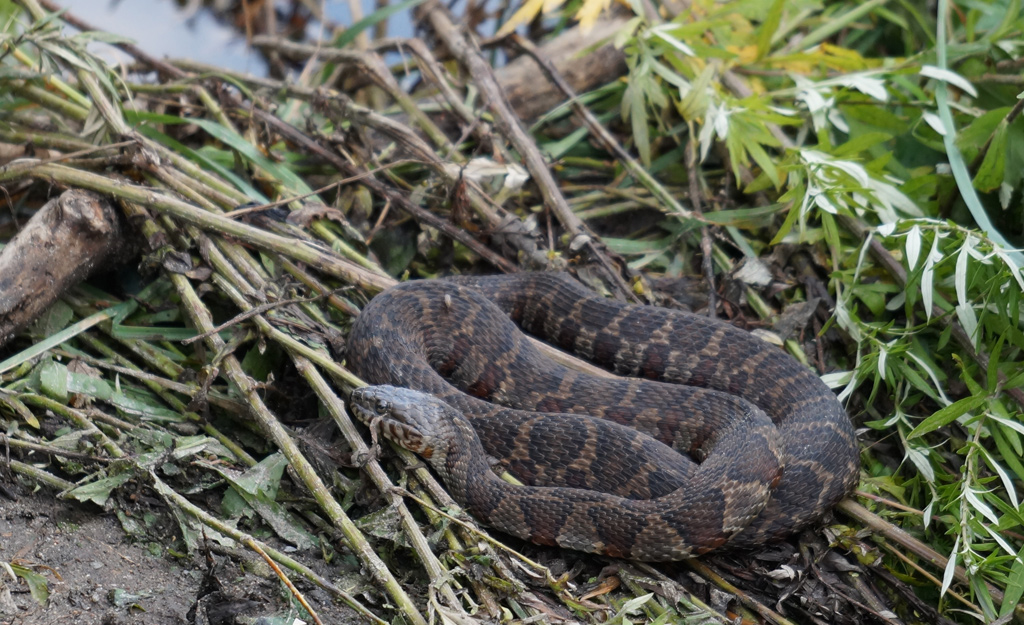 Snake near the Charles River in West Roxbury