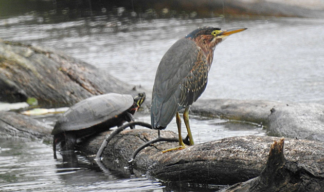 Turtle and green heron at Millennium Park in West Roxbury
