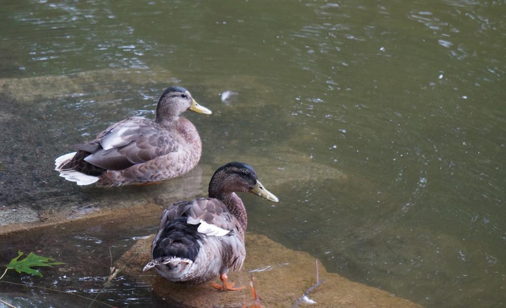Ducks at Jamaica Pond