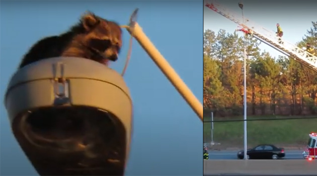 Raccoon being rescued from the top of a light fixture on the turnpike