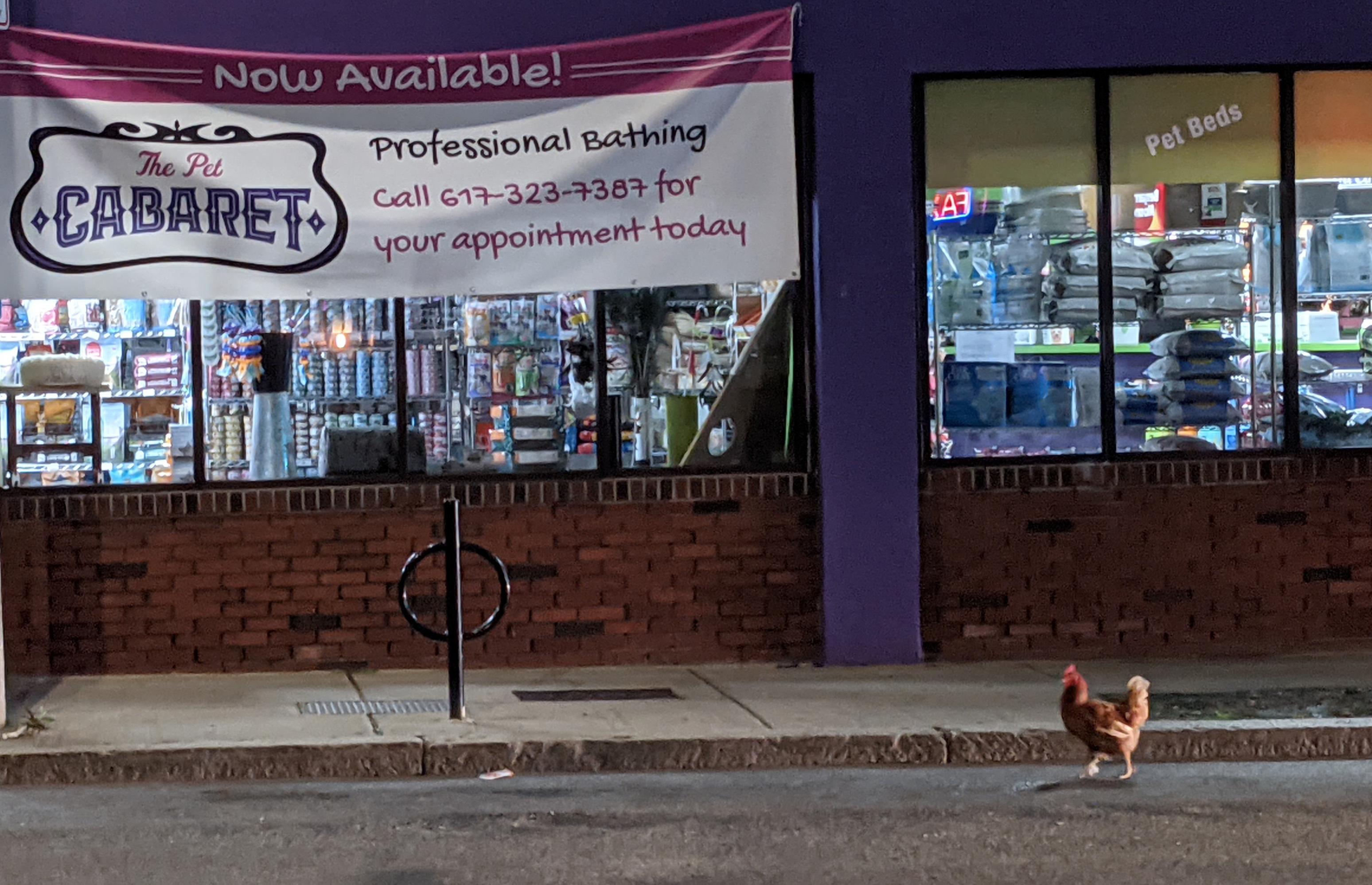 Chicken on Washington Street in Roslindale
