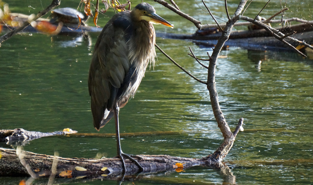 Great blue heron all scrunched up