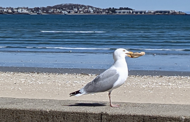 Seagull with a bagel