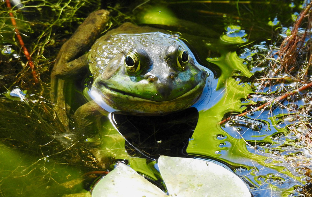 A smiling frog in Cutler Park