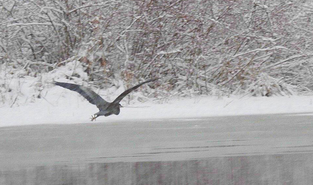 Great blue heron over the Charles River
