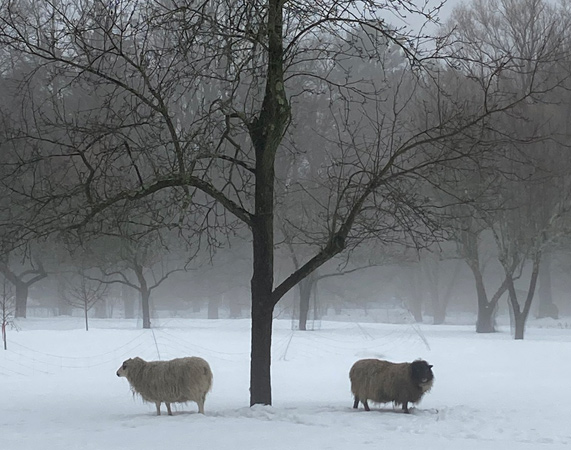 Sheep in the snow in Milton