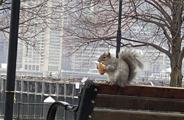 Squirrel eating lunch at Piers Park in East Boston