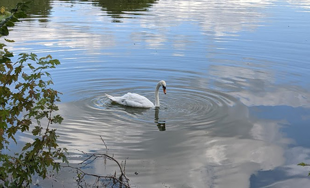 Swan in Jamaica Pond
