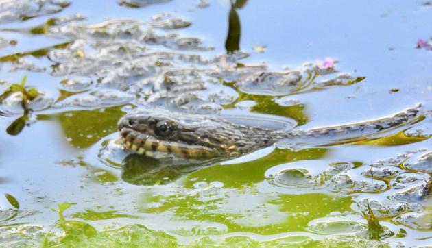 Snake in pond in Allandale Woods