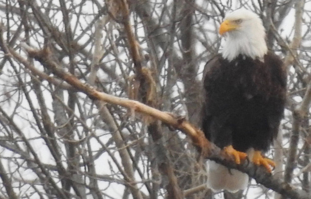 Bald eagle in West Roxbury