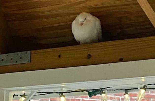 White bird in a gazebo in Dorchester Lower Mills