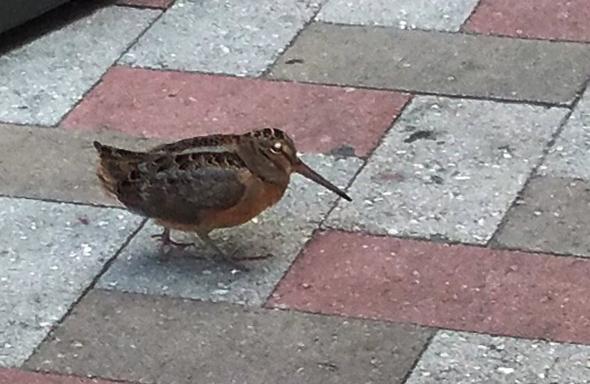 Woodcock in downtown Boston