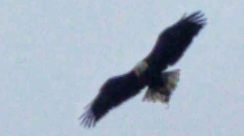 Eagle over Franklin Park