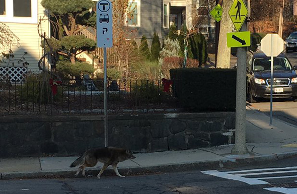 Coyote in Roslindale