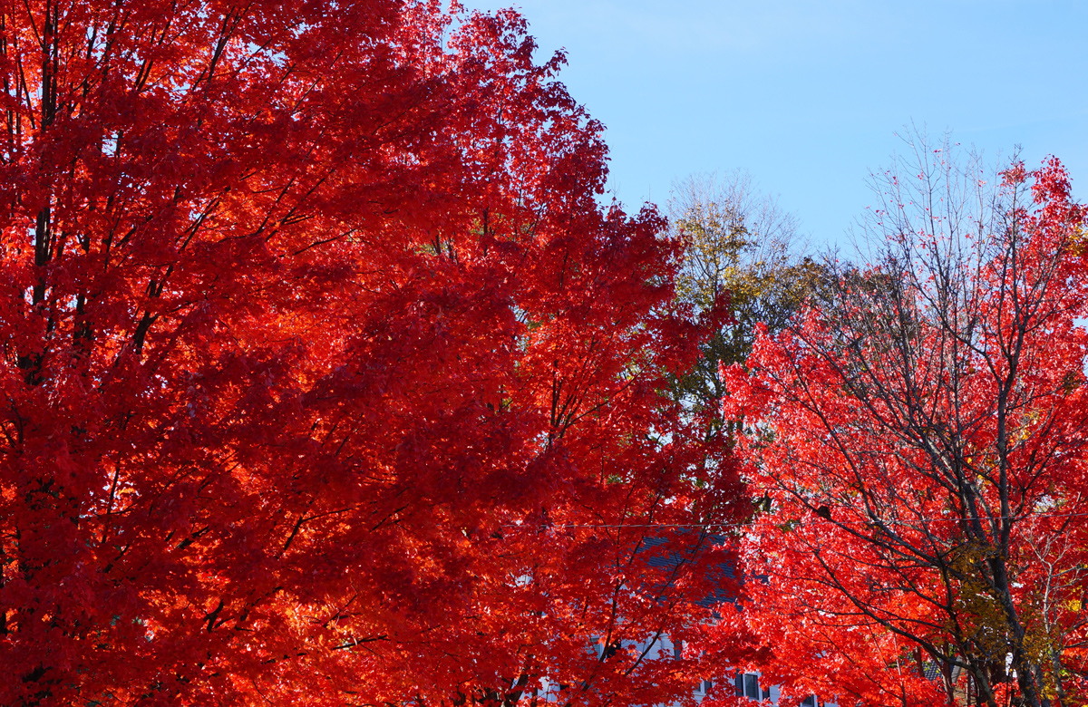 Red trees on West Roxbury Parkway