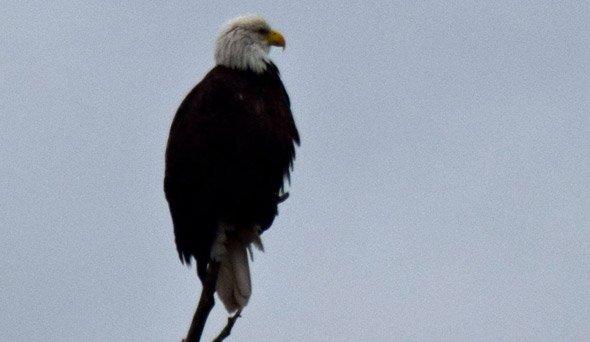 Eagle at Jamaica Pond