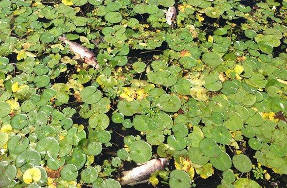 Dead fish in the Mystic River