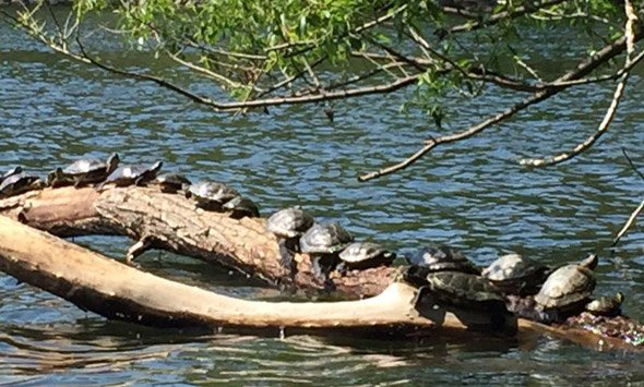 Turtles at Jamaica Pond