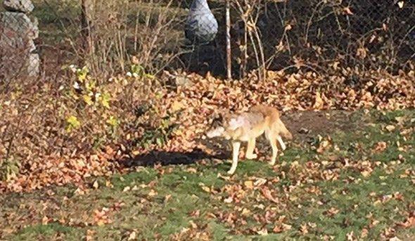 Dorchester coyote
