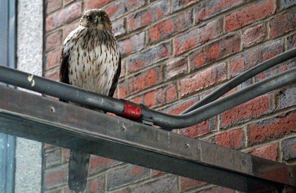 Hawk at Green Street station on the Orange Line