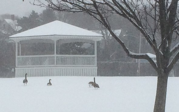 Geese in the snow in Hull