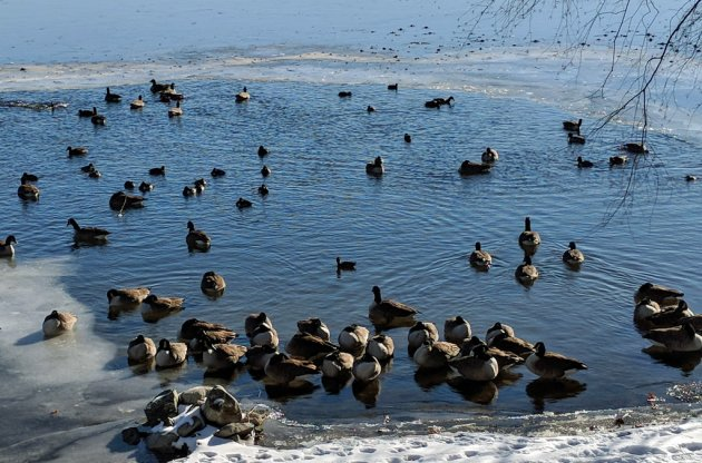 Ducks, geese and coots in water at otherwise frozen Jamaica Pond