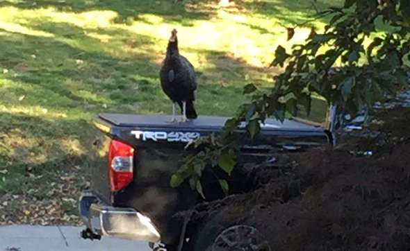 Aggravating turkey on Ashmont Street in Dorchester