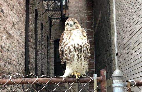 Hawk in the Back Bay