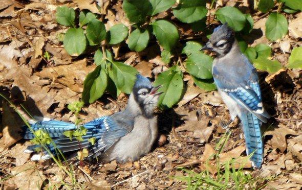 Bluejays in Roslindale