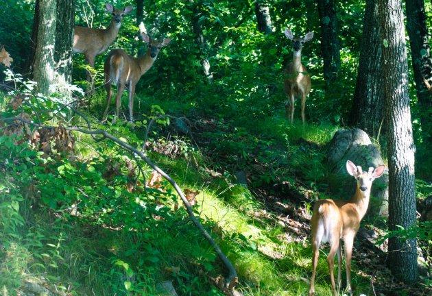 Deer in Hyde Park